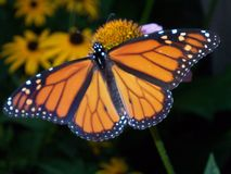 Monarch Butterly stock foto's