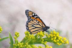 Monarch Butterly Royalty Free Stock Image