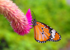 Monarch bytterfly Stock Image