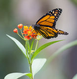 Monarch, Canaus plexippus. Sucking nectar from a flower stock images