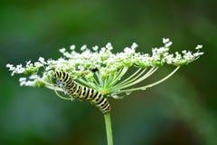 Monarch catepillar Lizenzfreies Stockbild