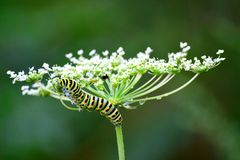 Monarch catepillar Royalty Free Stock Image