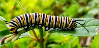 Monarch Caterpillar royalty-vrije stock afbeelding