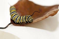 Monarch caterpillar. A closeup of a Monarch caterpillar on a brown leaf Stock Photography