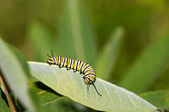 Monarch Caterpillar. Monarch butterfly caterpillar (Danaus plexippus) crawling and feeding on the underside of a milkweed leaf royalty free stock photo