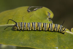 Monarch Caterpillar. Photograph of a caterpillar, or larva, of the monarch butterfly on a piece of vegetation on a midwestern summer day stock photo