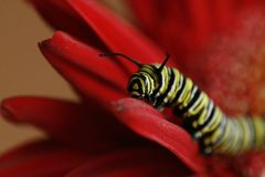 Monarch Caterpillar. Climbing on a red gerber daisy Stock Photo