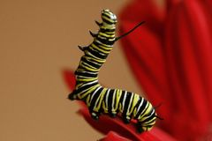 Monarch Caterpillar. Climbing on a red gerber daisy Stock Image