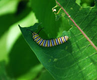 Monarch Caterpillar. Eating milkweed plant Stock Image