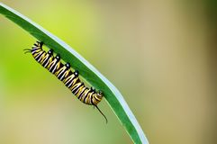 Monarch caterpillar Stock Images
