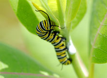Monarch Caterpillar. Macro of a monarch caterpillar (Danaus plexippus) on a milkweed plant royalty free stock image