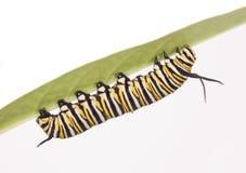 Monarch Caterpillar royalty-vrije stock foto