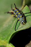 Monarch caterpillar. On green leaf Stock Photos
