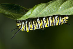 Monarch caterpillar. A closeup of a monarch caterpillar covered with morning dew royalty free stock photography