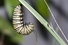 Monarch caterpillar Royalty Free Stock Photography