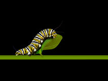 Monarch Caterpillar Stock Image