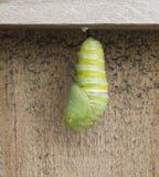 Monarch Caterpillar Becoming Chrysalis Royalty Free Stock Photos