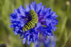 Monarch caterpillar on blue wildflower. Stock Photo