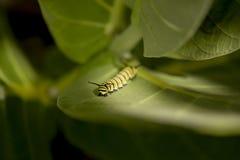 Monarch Caterpillar Stock Photography