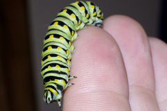 Monarch caterpillar Stock Photo