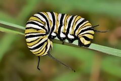 Monarch caterpillar curled around a plant stem. A colorful banded Monarch caterpillar (Danaus plexippus) curled around a plant stem during late Fall royalty free stock photography
