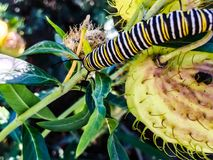 Caterpillar crawling on a thorny plant stock photography