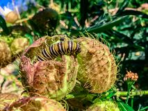 Caterpillar crawling on a thorny plant royalty free stock images