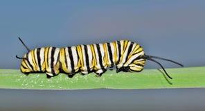 Monarch caterpillar with blue sky background. A Monarch caterpillar (Danaus plexippus) walking along a single blade of long green grass with a blue stock images