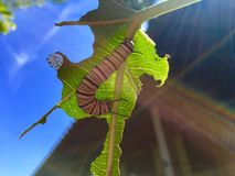 Monarch caterpillar eat tree leaf and hide sunlight under leaf. Monarch caterpillar eat tree leaf and hide sunlight under that leaf stock photos