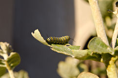 Monarch caterpillar eating crown flower leaf Royalty Free Stock Photos