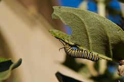 Monarch caterpillar eating crown flower leaf. Monarch caterpillar eating leaf in garden Royalty Free Stock Photo