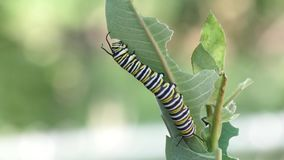 Monarch caterpillar eating milkweed plant