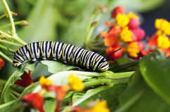 Monarch Caterpillar Feeding Milkweed. A monarch caterpillar feeding on milkweed (Asclepias tuberosa) Butterflies undergo complete metamorphosis, this is the royalty free stock photography