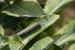Monarch Caterpillar Royalty Free Stock Photo