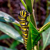 Monarch Caterpillar Feeding 2. 11/20/15 South TX Found some Monarch Caterpillars in our Milkweed plans in the front yard royalty free stock photo