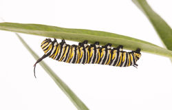 Monarch Caterpillar Royalty Free Stock Images