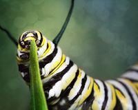 A Monarch Caterpillar Gnawing On A Plant. A caterpillar gnawing on a plant before it becomes a beautiful Mondarch butterfly Royalty Free Stock Photos