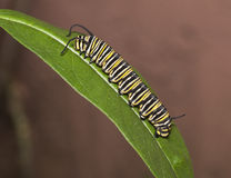 Monarch caterpillar on green leaf. Yellow, black, and white striped monarch caterpillar on a green leaf against a light brown background Stock Photo