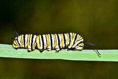 Monarch caterpillar with a green nature background. royalty free stock image