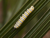 Monarch Caterpillar on Green Plant Stock Images