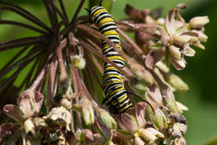 Monarch Caterpillar. A Monarch Caterpillar instar eating from a milkweed plant Stock Photo