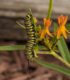 Monarch caterpillar. Keeps on feeding on plants and leaves stock photography