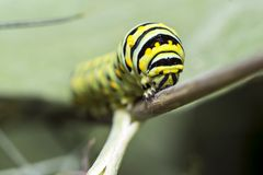 Monarch Caterpillar, larval, Lepidoptera Stock Photography
