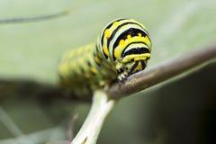 Monarch Caterpillar, larval, Lepidoptera Stock Photography