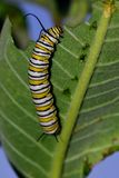 Monarch Caterpillar. A macro image of a monarch caterpillar consuming a milkweed leaf stock photography