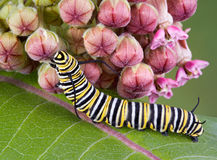 Monarch caterpillar on milkweed. A monarch caterpillar is crawling on a flowering milkweed plant stock image