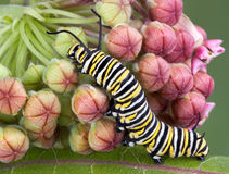 Monarch caterpillar on milkweed b. A monarch caterpillar is crawling on a flowering milkweed plant royalty free stock photos