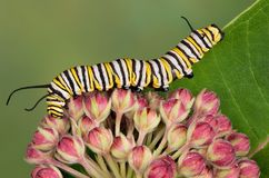 Monarch caterpillar on milkweed buds Royalty Free Stock Image