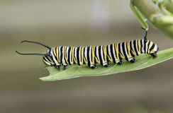 Monarch Caterpillar on Milkweed Leaf. Monarch butterfly caterpillar with black, yellow, and white stripes is nibbling on a green milkweed leaf against a blurred Stock Photo