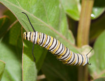 Monarch caterpillar on a Milkweed leaf Stock Photos